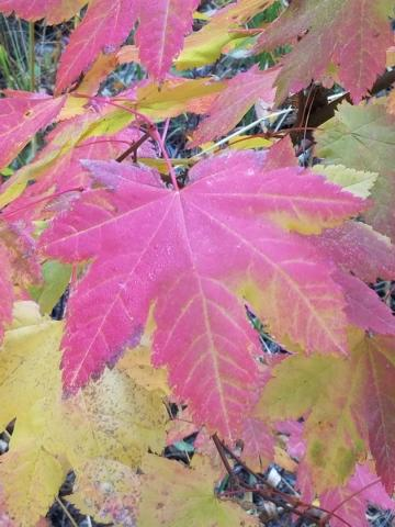 Red Maple Leaf In Leavenworth | Tracy Marie Lewis | www.stuffnthingz.com